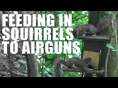 Feeding in Squirrels to Airguns