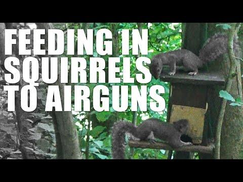 Feeding in Squirrels to Airguns