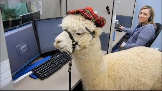 Alpacas trained to work in a Call Center