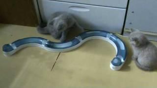 британские кошки, Британский котенок и интерактивная игрушка Catit Circuit