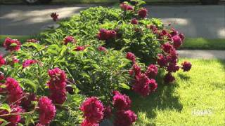 How to Stake Tall Perennials