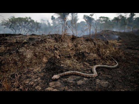 العرب اليوم - شاهد: ثعابين الأمازون الناجية من جحيم الحرائق