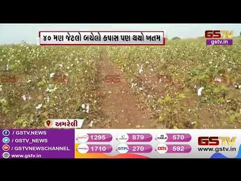 Amreli : શંભુ વસોયાના ખેતરમાં અજાણ્યા શખ્સોએ ઘેટાં બકરા છોડ્યા | Gstv Gujarati News
