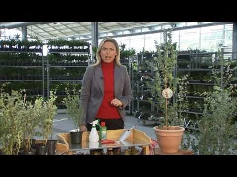 BALDUR-Garten: Winterharter Eukalyptus 'Azura®'
