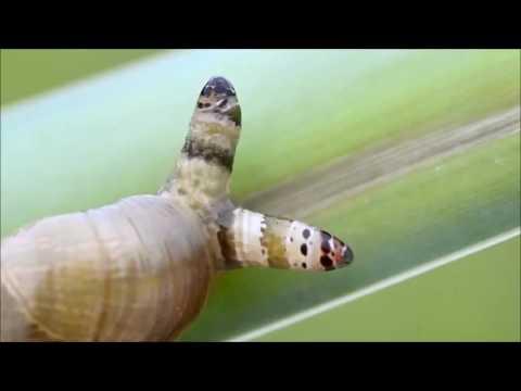 Wie das Blut auf die Würmer und ljamblii abzugeben