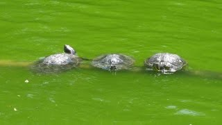 Valzer delle tartarughe