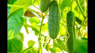 Amazing Agriculture Technology  Cucumbers