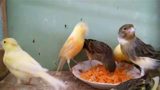 Что едят канарейки в природе