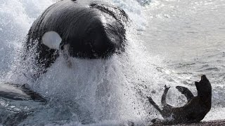 Killer Whales hunt seals - Fascinating facts in the wild