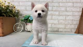 Video preview image #1 Shiba Inu Puppy For Sale in BEVERLY HILLS, CA, USA