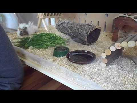 ",,Living World Green Eco Habitat"" and my Guinea Pig ♥"