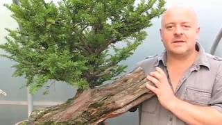 Copy Of Bonsai Tree Styling   A Yew Saved From The Log Pile