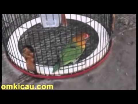 Video video perawatan harian lovebird biar cepat gacor dan ngerol panjang