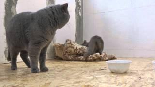 британские кошки, Британец Вова с подружкой
