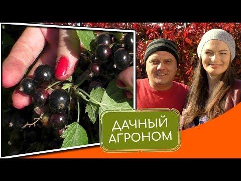 Как посадить смородину осенью правильно. 3 ОШИБКИ САДОВОДА при посадке смородины #дачныйагроном