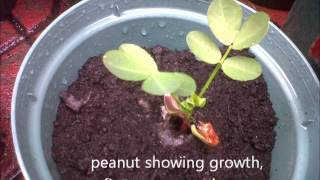 How To Grow Peanuts Indoors from Seeds (Ottawa City, Ontario, Canada)