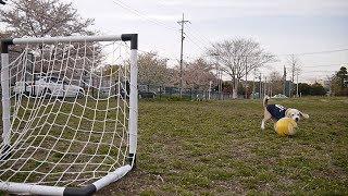 Настоящие собаки умеют играть в футбол :)