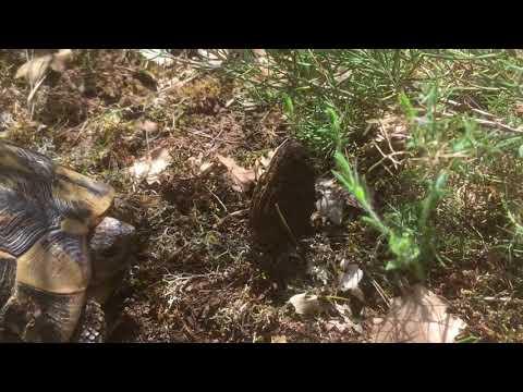 Les feuilles de bouleau des lamblias aux enfants