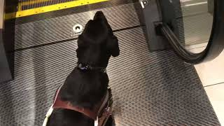 Imagine doing this with your eyes closed. Navigating the mall with Guide dog Arabella.