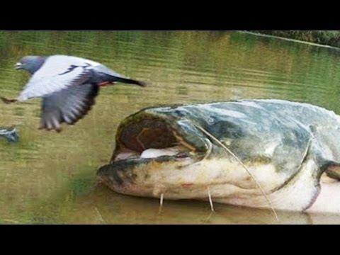 Ce silure gobe des pigeons !