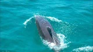 preview picture of video 'Delfine vor Merimbula'