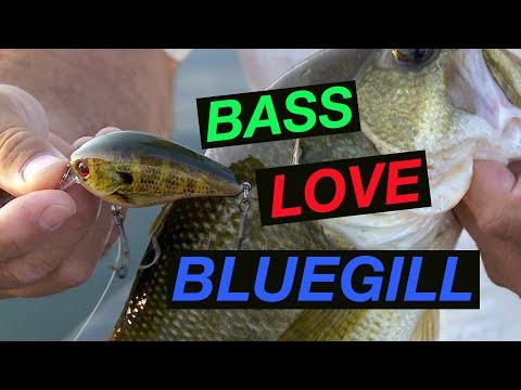 Bass Love Bluegill