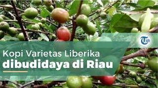 Kopi Excelsa Riau, Kopi Varietas Liberika, Dibudidaya di Ketinggian 700 Mdpl