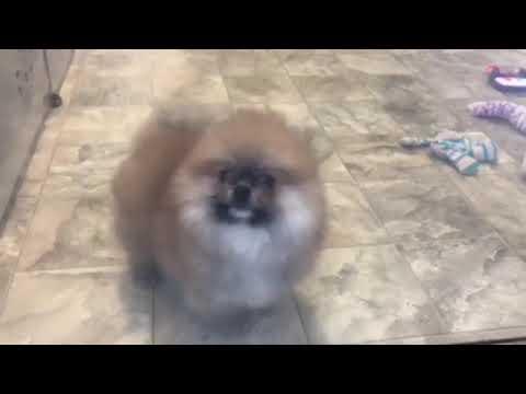 Pomeranian puppy for sale, Royce
