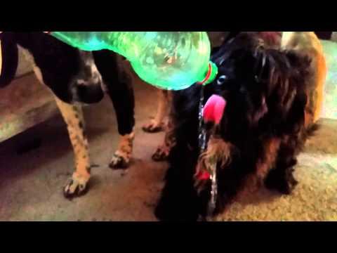 Il cane che beve l'acqua dalla bottiglia