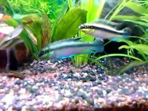 Pelvicachromis pulcher 2