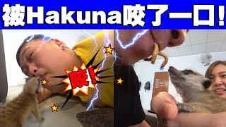 玩到被Hakuna咬了!但是这集太好笑了