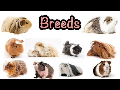 , title : 'Guinea pig breeds