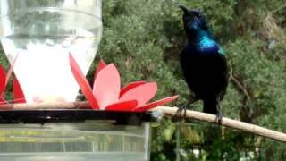 preview picture of video 'Male Sunbird (Nectarinia osea) צופית (זכר) שותה מי סוכר'