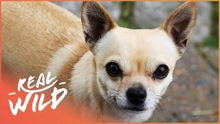 Tiny Chihuahua, Big Attitude!   The Love Of Dogs   Real Wild Documentary
