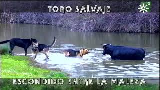 PGM 471 TORO SALVAJE