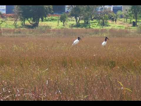 Símbolo do Pantanal, casal de tuiuiús é visto na lagoa do Patão