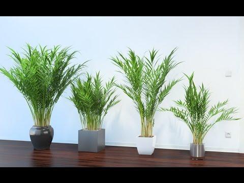 Пальма АРЕКА или БЕТЕЛЬ. Уход и размножение АРЕКОВОЙ ПАЛЬМЫ в домашних условиях