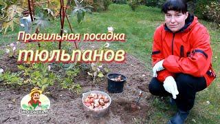 Правильная посадка тюльпанов видео