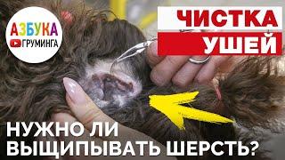 Как почистить уши собаке? Нужно ли выдергивать шерсть?