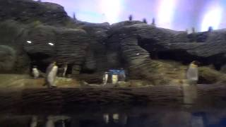 King and Macaroni Penguins at Zoo Antwerpen part 2 20 February 2019