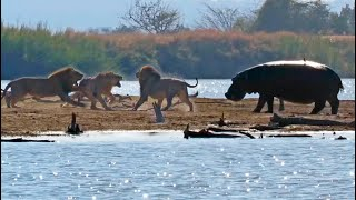 Male Lions Attacking Another Lion Get Interrupted By Elephants & Hippos