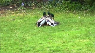 Mallard Ducks fighting to mate with female