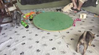 Litter F 8 Weeks Old w/ 6 Week Old Jindo Puppies
