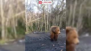 Огромный голодный медведь в Приморском крае выходит к дороге за едой 720p
