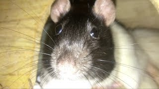 10 Weird Yet Totally Normal Behaviors (and More) from Pet Rats