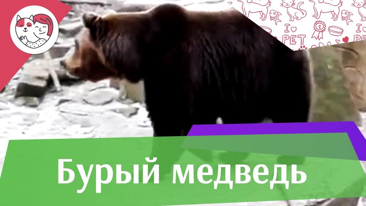 Бурый медведь Сосет ли медведь лапу на ilikepet