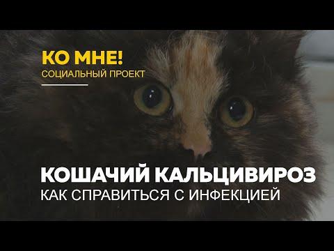 «Ко мне!»: как лечить кошачий кальцивироз и что это за инфекция