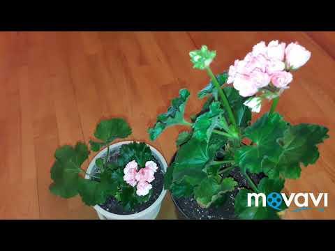 Тюльпановидная пеларгония Marie-Louise