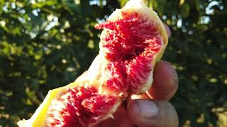 Panache (Panachee) and Bordissot Blanca Rimada Fig Trees