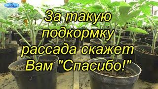 Очень полезная подкормка для рассады томатов! Чем и как правильно провести подкормку рассады.